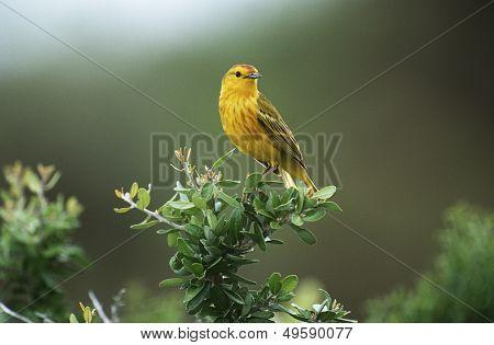 Yellow Warbler perching on bush