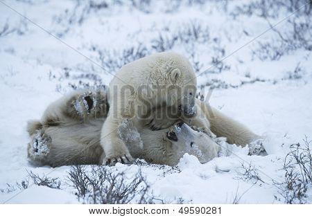 Canada Churchill polar bear cubs playing in snow