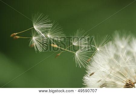 Dandelion seeds flying extreme close up