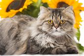 portrait of beautiful Persian cat lying with sunflowers on white background poster