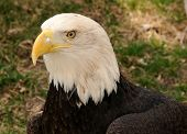 Closeup view of bald eagle in captivity poster