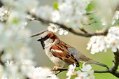 sparrow on blooming branch in spring poster