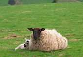 Mother sheep and sleeping baby lamb.Resting in fresh green grass. poster