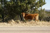 Cow grazing alongside the road. Open range grazing in the Lincoln National Forest USA poster