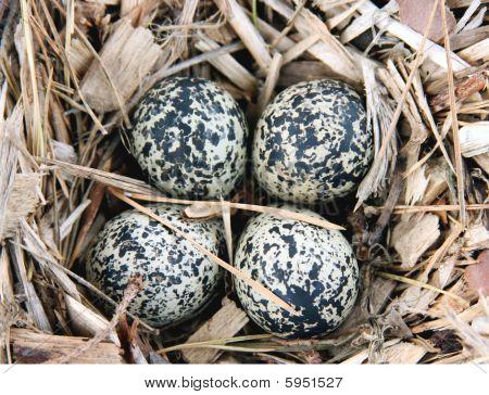 Killdeer ( Charadrius Vociferus ) Eggs In Nest