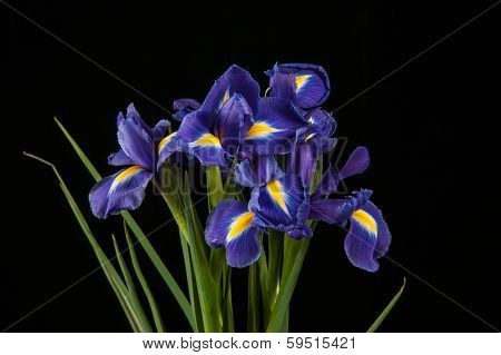 Vibrant Purple Iris On Black Background