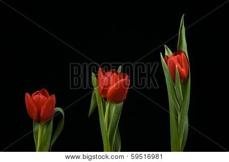 Vibrant Red Tulips On Black Background