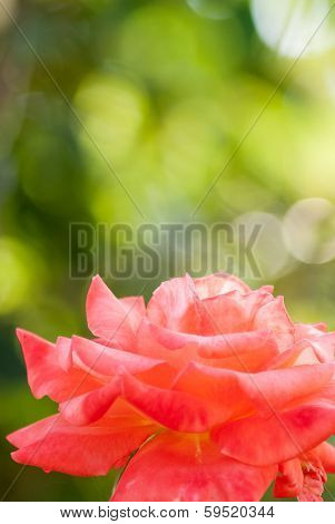 Orange Rose Flower Over Green Bokeh Background