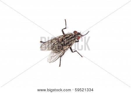 Fly Isolated On White. Macro Shot Of A Housefly,