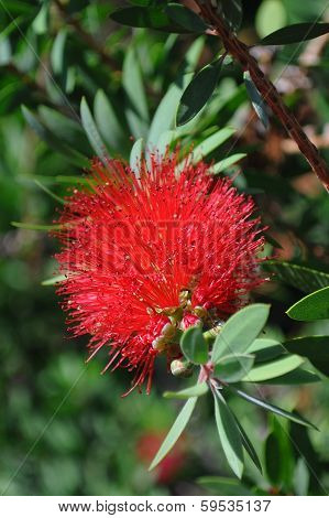 New Zealand Christmas Tree Red Flower