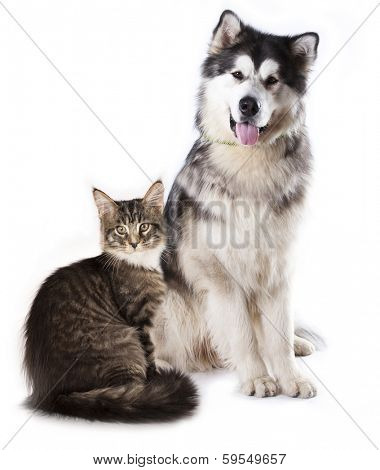 Alaskan Malamute  and cat breeds Maine Coon, Cat and dog poster