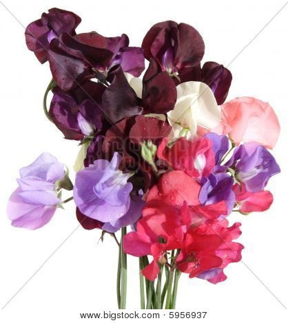 Wet Sweet Pea Bouquet, isolated on white poster