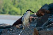 Black Capped Night Heron on boulders along river poster