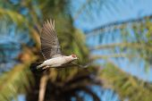 A Speckled Pigeon (Columba Guinea) flying past a palm tree poster