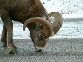 bighorn sheep in Kananaskis, Canada. poster