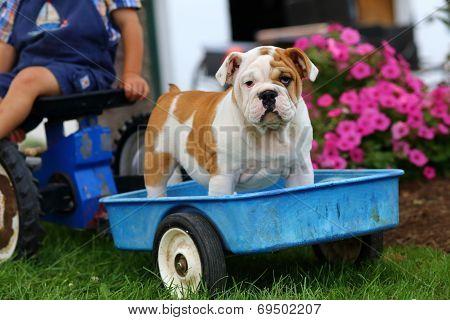 English Bulldog puppy standing in toy blue wagon
