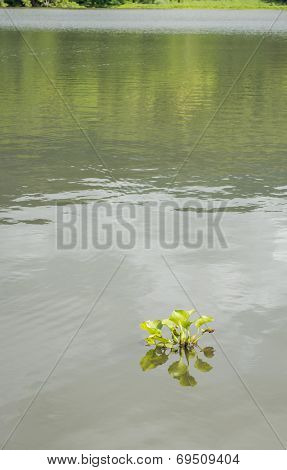 River Water Hyacinth Floating Alone In The Lake