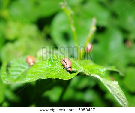 colorado beetle on the leaves of potato poster