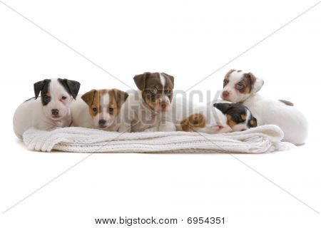 group of Jack Russel