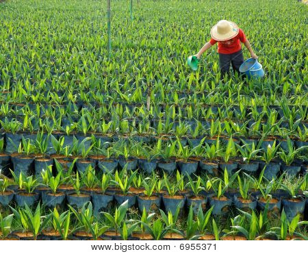 Oil Palm Nursery