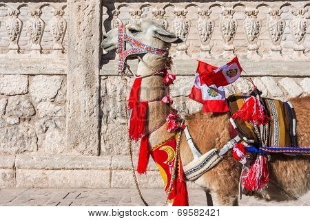Llama with peruvian flags in the peruvian Andes at Arequipa Peru