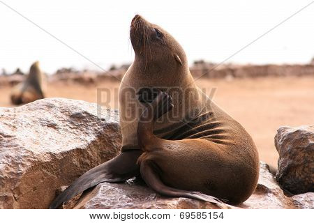 Seal scratching itself on a rock Cape Cross colony Namibia poster