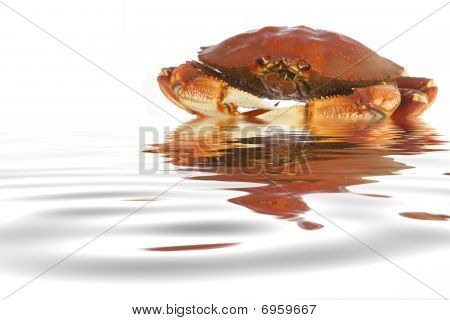 Cooked dungeness crab isolated on white background in the water
