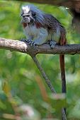 A cotton-top tamarin Sanguinus oedipus perched on a branch poster