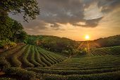 Tea plantation valley at dramatic pink sunset sky in Taiwan for adv or others purpose use poster
