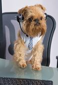 Dog breed Griffon Bruxellois sits near the computer headphones poster