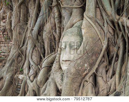 Ancient Buddha Statue In Tree Roots At Mahatat Temple