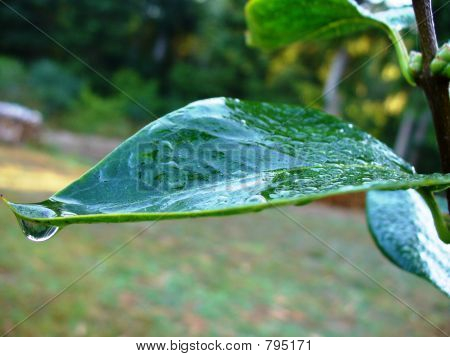 Leaf with Dew and Drip
