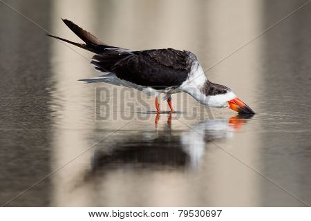 Black Skimmer drinking in water