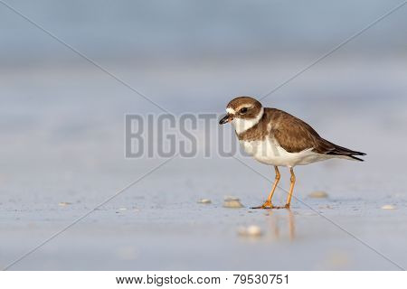 Semipalmated plover on the beach.