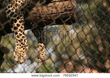 Leopard (Panthera pardus) in its enclosure at zoo.   poster