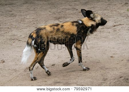 African wild dog (Lycaon pictus).