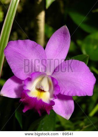 Flower - Deep Fuschia Orchid