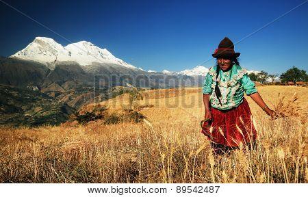 CORDILIERA NEGRA, PERU - AUGUST 23: Peruvian peasant woman harvesting the wheat, Peru, South America, August 23, 2012