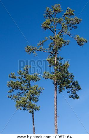 Two Loblolly Pine Trees