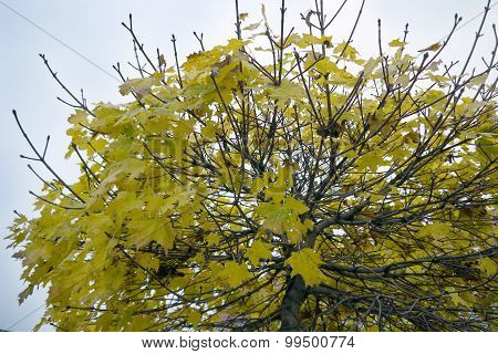 Autumn leaves of a tree
