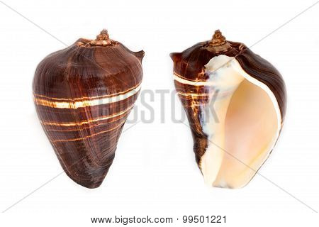 Tiger Sand Fish Shell (strombus Spp)