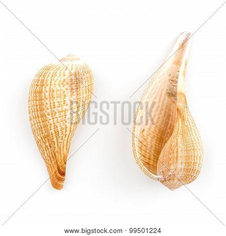Paper Fig Shell  (ficus Gracilis)