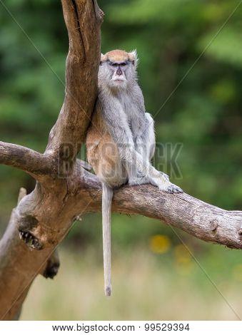 Patas Monkey (erythrocebus Patas