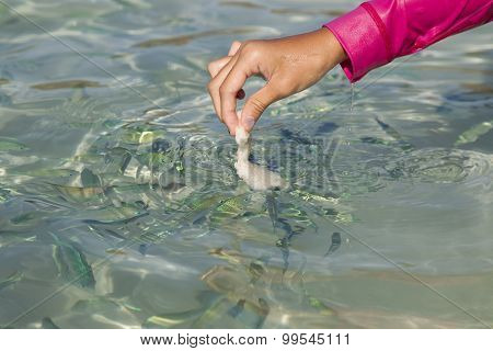 Hand feeding fish with bread