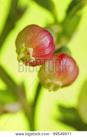 Bilberry (Vaccinium Myrtillus) Flowers