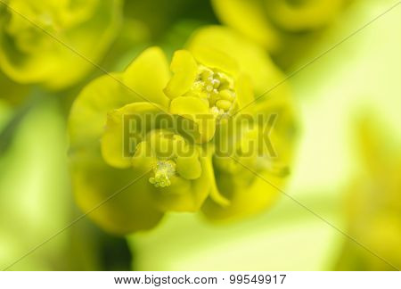 Cypress Spurge (Euphorbia Cyparissias) Inflorescence