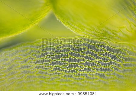 Detail Of Peat Moss Leaf (Sphagnum)