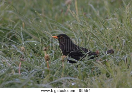 Blackbird In The Morning Dew.