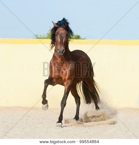 Dark Bay Andalusian Horse Runs Free In Paddock With Yellow Wall