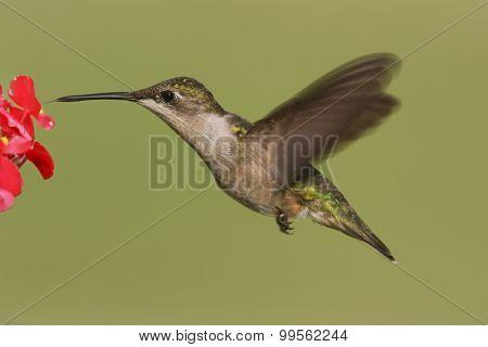 Female Ruby-throated Hummingbird (archilochus Colubris)